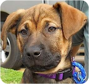 Hound (Unknown Type)/Shepherd (Unknown Type) Mix Puppy for adoption in Kingwood, Texas - Hannah