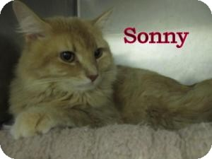 Domestic Longhair Cat for adoption in Frankfort, Indiana - Sonny