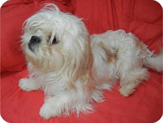 Lhasa Apso Dog for adoption in Antioch, Illinois - Monica ADOPTED!!