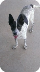 Cattle Dog Mix Dog for adoption in Las Vegas, Nevada - Sunshine
