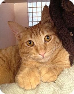 Domestic Mediumhair Kitten for adoption in Fountain Hills, Arizona - BRIDGITTE