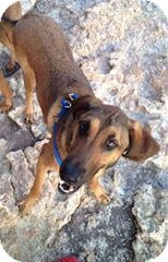 Bloodhound Mix Dog for adoption in Scottsdale, Arizona - Satori (Courtesy Listing)