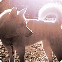 Adopt A Pet :: Senna - Wadsworth, OH