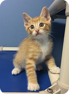 Domestic Shorthair Kitten for adoption in Germantown, Tennessee - Harry