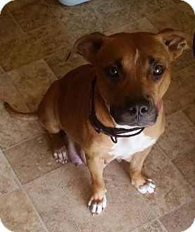 American Staffordshire Terrier Mix Dog for adoption in fredericksburg, Virginia - Elina
