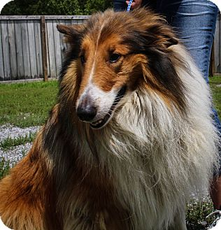 Collie Dog for adoption in Farmington, Michigan - Simba