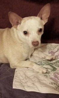 Chihuahua Mix Dog for adoption in Mount Pleasant, South Carolina - myles
