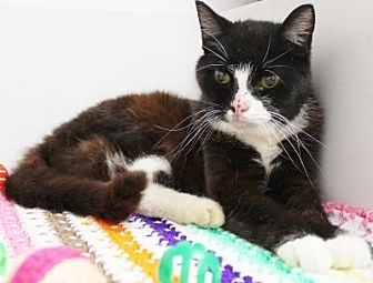 Domestic Shorthair Cat for adoption in Sebastian, Florida - Tansi