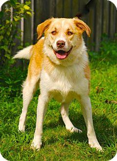 Australian Shepherd/Golden Retriever Mix Dog for adoption in Pawleys Island, South Carolina - Xander