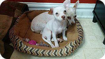 Chihuahua Mix Puppy for adoption in Va Beach, Virginia - Berel & Estrella