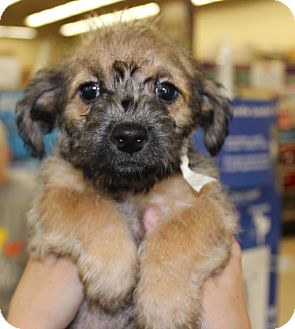 Terrier (Unknown Type, Small) Mix Puppy for adoption in Las Vegas, Nevada - WATSON