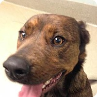 Labrador Retriever/Shepherd (Unknown Type) Mix Dog for adoption in Columbus, Georgia - Fritos 7170
