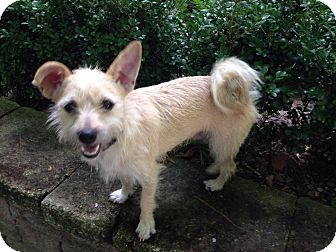 Terrier (Unknown Type, Small)/Wirehaired Fox Terrier Mix Dog for adoption in Augusta, Maine - A - JOSH
