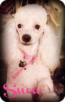 Miniature Poodle Dog for adoption in Phoenix, Arizona - SNOW
