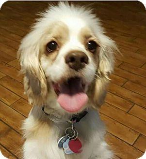 Cocker Spaniel Dog for adoption in Sugarland, Texas - Ursula