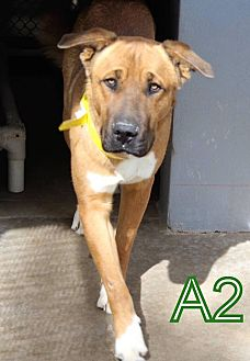 Great Dane/Shepherd (Unknown Type) Mix Dog for adoption in Staunton, Virginia - Scooby Doo