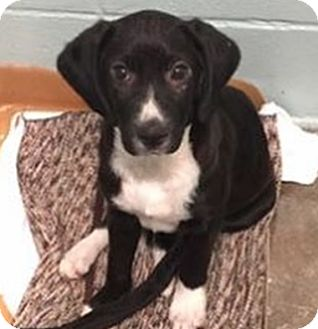 Border Collie Mix Puppy for adoption in Pompton Lakes, New Jersey - Bonnie