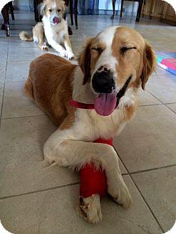English Setter Mix Dog for adoption in Toronto, Ontario - RENA