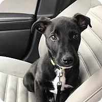 Adopt A Pet :: Care Bear - Shawnee Mission, KS