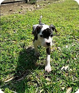 Chihuahua/Pit Bull Terrier Mix Dog for adoption in Houston, Texas - Lisa