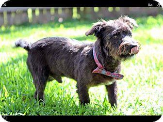Tibetan Terrier Mix Dog for adoption in ROSENBERG, Texas - Maynard
