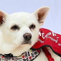 Basenji/Chihuahua Mix Dog for adoption in Redondo Beach, California - Blanca