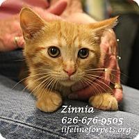 Adopt A Pet :: Adopt Baby ZINNIA - Monrovia, CA