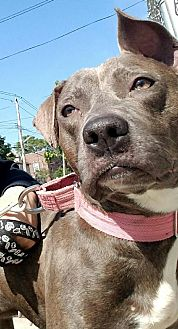 Pit Bull Terrier Mix Dog for adoption in Bronx, New York - Rosa