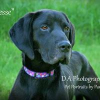 Adopt A Pet :: Jesse - Fond du Lac, WI