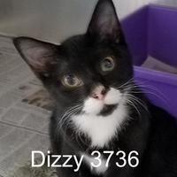 Adopt A Pet :: Dizzy - Manassas, VA