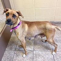 Adopt A Pet :: Amy 107188 - Joplin, MO