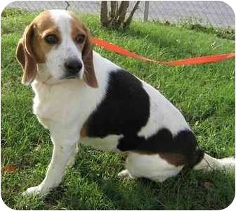 Beagle Mix Dog for adoption in Brenham, Texas - Bailey