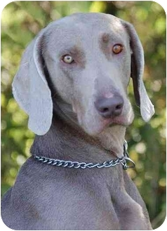 Weimaraner Dog for adoption in Mora, Minnesota - Rolly
