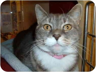 Domestic Shorthair Cat for adoption in No.Charleston, South Carolina - GRACIE