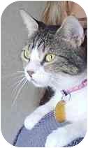 Domestic Shorthair Cat for adoption in White Settlement, Texas - Momma