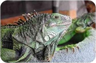 Iguana for adoption in Longmont, Colorado - Lily