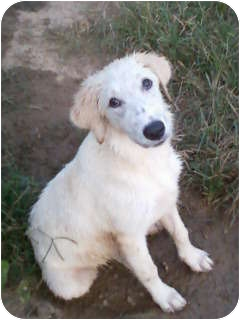 Great Pyrenees/Labrador Retriever Mix Dog for adoption in Parsippany, New Jersey - Angel