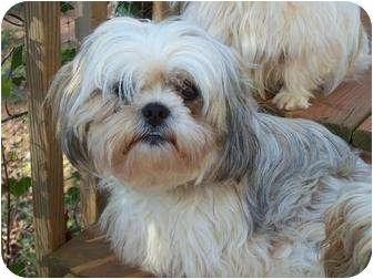 Shih Tzu Dog for adoption in ROCKMART, Georgia - ETOILE-STAR
