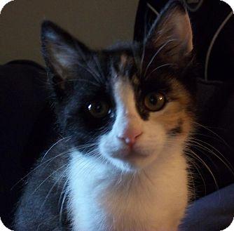 Domestic Shorthair Kitten for adoption in Hendersonville, Tennessee - Mookie