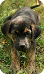 Boxer/Labrador Retriever Mix Puppy for adoption in Brattleboro, Vermont - Boo