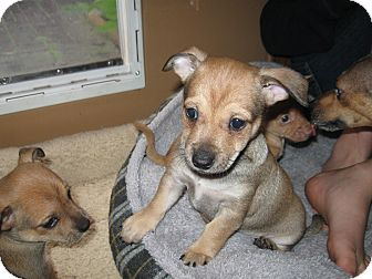 Chihuahua Mix Puppy for adoption in Tumwater, Washington - A.j.