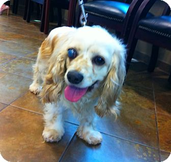 Cocker Spaniel Mix Dog for adoption in Mentor, Ohio - Lucy 5yr Adopted