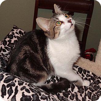 Domestic Shorthair Kitten for adoption in Bentonville, Arkansas - Rain