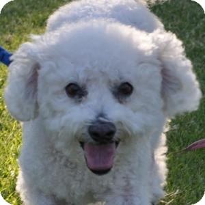 Bichon Frise Mix Dog for adoption in La Costa, California - Keike