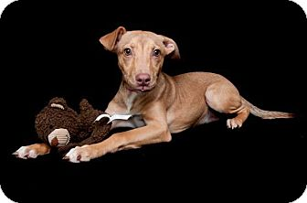 Whippet/Shepherd (Unknown Type) Mix Puppy for adoption in CHAMPAIGN, Illinois - SAMI