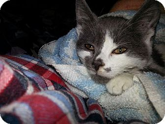 Domestic Shorthair Kitten for adoption in Wayne, New Jersey - Acorn