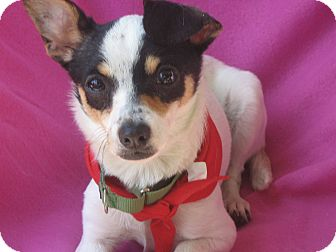 Toy Fox Terrier Puppy for adoption in Irvine, California - Connie-WATCH MY VIDEO!!!!