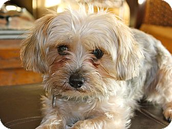 Yorkie, Yorkshire Terrier Mix Dog for adoption in Los Angeles, California - Madonna