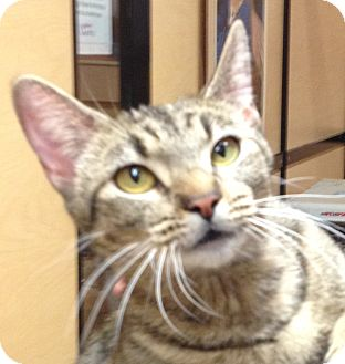 Domestic Shorthair Cat for adoption in Weatherford, Texas - Mae West