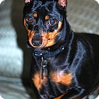 Adopt A Pet :: Harley - Malaga, NJ